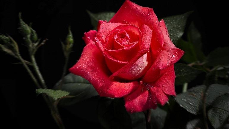 Gấp: Chuẩn Bị 5 Quà Tặng Sinh Nhật Cho Bạn Gái Ngay Trong Đêm - hoa hồng